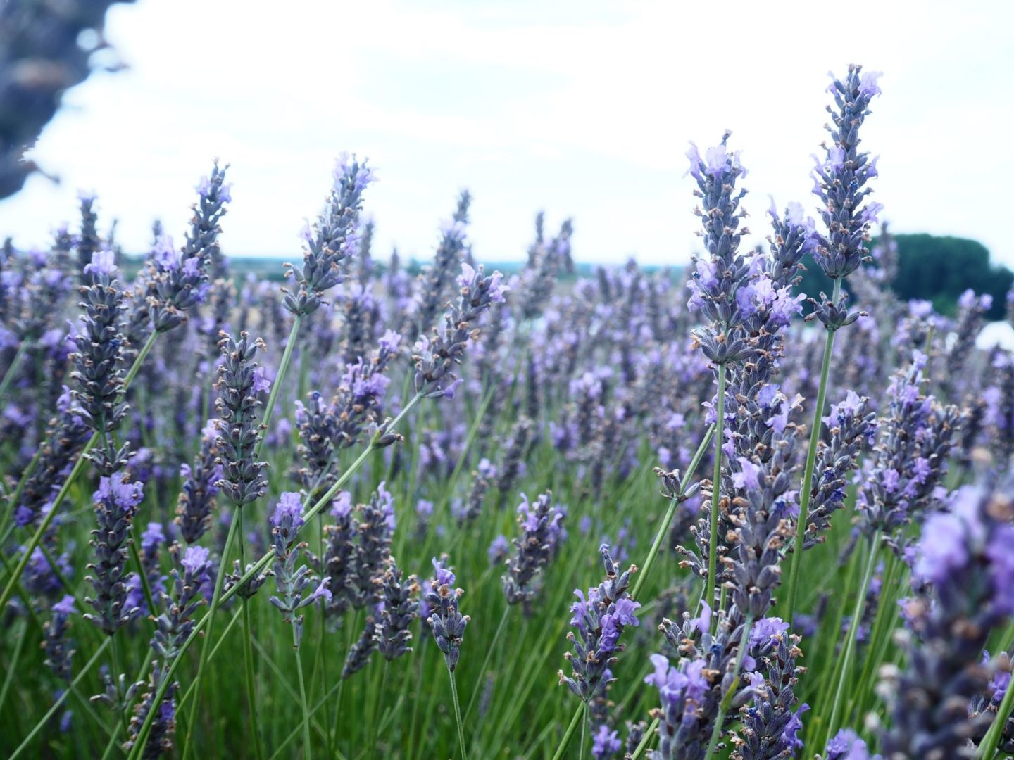A Morning in Hitchin Lavender - Style Wanderings